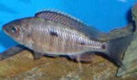 copadichromis-azureus-femelle-1.jpg