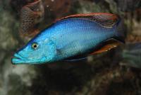 dimidiochromis-compressiceps.jpg