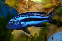 melanochromis-maingano.jpg