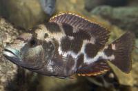 nimbochromis-livingstonii.jpg